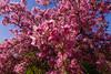 Spring explosion (bakosgabor57) Tags: arboretum flowers white green three spring park garden d7200 blossom flower sky tokina1116 pink