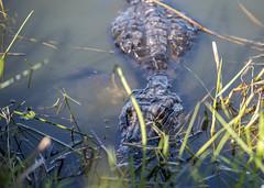 _APR8847 (1) (Adrian de la Paz) Tags: alligator everglades florida cocodrilos