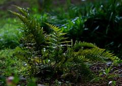 Ferns (Reid2008) Tags: ferns shadegarden morninglight