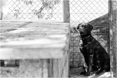 b/w dogs - Pablo (andaradagio) Tags: andaradagio bianconero bw canon dog cane miglioramicodelluomo nadiadagaro rifugioohana bandaa4zampeumbria