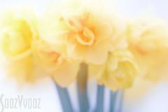 Double Daffs (Sue_Hutton) Tags: 35romwayclose april2018 spring flowers highkey lensbabylens mec multiexposureincamera softfocus