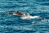 IMG_0009-1-2 (langdon10) Tags: atsea canon70d gulfofmexico humpbackwhale ocean whale