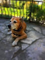 My old friend #dog #friendship #friend #staff (cordier38) Tags: dog friendship friend staff