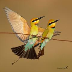 Rainbow Bee-eaters (shelley90) Tags: beeeater rainbowbeeeater bird birdbehaviour birdphotography beautiful beautifullight beauty