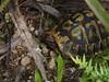 DSCN9720 (folke.glock) Tags: schildkröte tiere