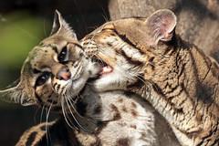 Margay artis BB2A1534 (j.a.kok) Tags: animal artis mammal margay margaycat feliswiedii predator zuidamerika southamerica