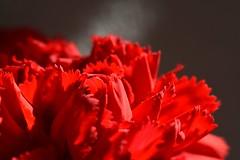Intense red carnation (annemarie.2) Tags: carnation redcarnation pioen pioenroos rodepioen rodepioenroos roderoos redrose pink redpink thecarnation thepink theredcarnation theredpink sweetwilliam redsweetwilliam intense intensered red rood intensrood dieprood flower bloem kartels redflower rodebloem bloedrood bloodred bloodyred crenated serrated crenatedflower serratedflower crenatedpetals serratedpetals toothed toothedflower toothedpetals redpetals petals jaggedflower jagged jaggedpetals knuried knuriedflower knuriedpetals rosepetals rosepetal redrosepetals carnationpetals nature natuur naturephotography macrophotography macrofotografie macro 1855mm 1855mmlens holland thenetherlands nikond3400 nikon fotografie