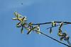 Sälg (evisdotter) Tags: sälg salixcaprea male hanblommor flowers bee bi spring nature sky colors light