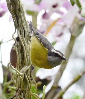 Coereba flaveola ssp. - Bananaquit (Linnaeus, 1758)