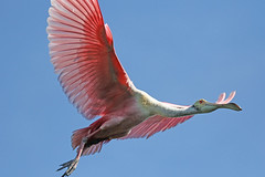 a fan of pink (Dianne M.) Tags: roseatespoonbill nature outside sunny pink flight wings rookery breeding farm florida coth5 ngc