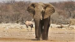 der Bulle kommt (marionkaminski) Tags: namibia südafrika southafrica panasonic lumixfz1000 etoshanationalpark etosha elefant elephant tier animal animali dieren antilope oryxantilope