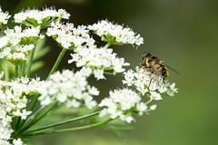 (Jérôme_M) Tags: canon eos 600d nature bee abeille proxy bokeh aquitaine landes seignanx saintmartindeseignanx