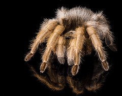 Big and Hairy on Black (fenicephoto) Tags: yellow