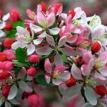 "Cincinnati – Spring Grove Cemetery & Arboretum ""Crab Apple Tree - A Packet Of Blooms"" thumbnail"