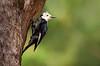 White-headed Woodpecker (alicecahill) Tags: california spring wild wildlife yosemite whiteheadedwoodpecker yosemitenationalpark nationalpark male woodpecker bird usa ©alicecahill animal