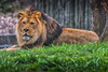 King of Druid Hill (jed52400) Tags: lion marylandzooinbaltimore baltimore maryland
