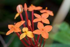 Jungle Flame - _TNY_3372 (Calle Söderberg) Tags: macro canon canon5dmkii canonef100mmf28usmmacro canoneos5dmarkii flash meike mk300 glassdiffusor vietnam phuquoc mylanresortrestaurant 5d2 flower orange ixora coccinea flameofthewoods junglegeranium jungleflame ixoroideae ixoreae rubiaceae f95