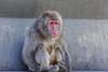 Artis Royal Zoo (Tuomo Lindfors) Tags: amsterdam netherlands nederland alankomaat holland hollanti artis royalzoo zoo eläintarha naturaartismagistra japanesemacaque macaque japaninmakaki makaki apina ape monkey rni allfilms