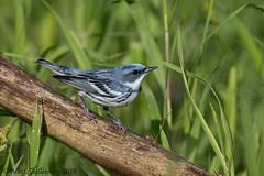 Cerulean Warbler (Matt Shellenberg) Tags: cerulean warbler blue ceruleanwarbler missouri nature wildlife matt shellenberg