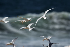 Your Tern Flying_9393 (Mike Head - Jetwashphotos) Tags: terns longdistanceflyers birds pacificcoast southerncalifornia marinadelrey coast ocean waves beach spring warmweather us usa america