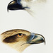 1. White-bellied sea eagle (Haliaeetus leucogaster) 2. Whistling kite (Haliastur sphenurus) from A Synopsis of the Birds of Australia and the Adjacent Islands (1837) by John Gould (1804-1881).