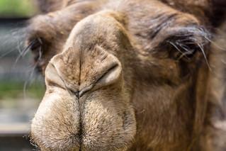 Camelschnozz