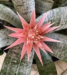 Bromeliad  (Explore 5/10/18 #347) (BetsyW566) Tags: bromeliad salmoncolor green spikes inexplore