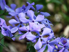 In a Blue Mood (Patricia Henschen) Tags: spring phlox woodland polemoniaceae blue woods arboretum mortonarboretum themortonarboretum flower flowers illinois lisle catchycolors