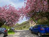 Blossom time (vintage vix - Everything is a miracle) Tags: caldervale lancashire cherry spring