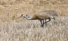 In Sync  ... Sandhill cranes ((nature_photonutt) Sue) Tags: sandhillcranes ironbridgeontariocanada 15000views