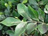 Mock Orange (Orange Jessamine, Murraya paniculata): scale insects and sooty mold (Plant pests and diseases) Tags: mock orange scale insects sooty mold leaf leaves jessamine murraya paniculata