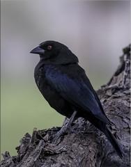 Bronzed Cowbird (fwsalmon) Tags: bronzedcowbird molothrusaeneus ravenridgeranch tucson arizona canon7dmarkii canon100400lii