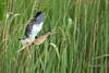Blongios nain - Ixobrychus minutus (Réserve naturelle de sebes, Espagne) 07 mai 2018 (ÇhяḯṧtÖρнε) Tags: 11600s 2000iso 500iso ardéidés blongiosnain blongiosnainixobrychusminutus canon catalogne espagne españa flix ixobrychusminutus littlebittern pélécaniformes réservenaturelledesebes tarragone bird f40 oiseau