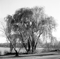 Willow in the Wind 2 (TeiscoMan) Tags: mamiyac220 twinlensreflex tlr rollfilm 120film ilforddelta100 blackandwhite blackandwhitefilm willow bdemakaska