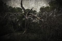 Drama (E.Cano) Tags: arbol tree nature naturaleza old viejo lienzo texture textura canvas green grass path