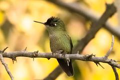 Picaflor chico (Sephanoides Sephanoides). (Andres Bertens) Tags: 656 olympusem10markii olympusm75300mmf4867ii rawtherapee hummingbird picaflor ave