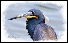 Tricolored Heron (robert (Bobby)powell) Tags: southwestflorida leecountyfl wildlife birds robertbobbypowell nature esterofl wadingbirds rpowell canon tricoloredheron naturephotography lake naturephotographer usa egrettatricolor wildlifephotography water bird wildlifephotographer canonlens eos77d