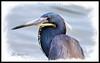 Tricolored Heron (robert (Bobby)powell) Tags: southwestflorida leecountyfl wildlife birds robertbobbypowell nature esterofl wadingbirds rpowell canon tricoloredheron naturephotography lake naturephotographer usa egrettatricolor wildlifephotography water bird wildlifephotographer canonlens eos77d