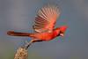 Northern Cardinal (Eric Gofreed) Tags: arizona cardinal elephantheadpond northerncardinal santacruzcounty