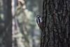 Shy Woodpecker (rwibring) Tags: 70300 bird bokeh d7200 forest macro nikkor nikon stockholm sweden tree wildlife woodpecker woods skogskyrkogården f63