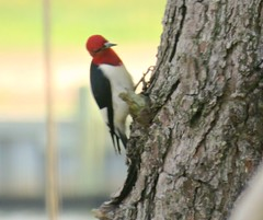 004(2) Red-headed woodpecker (baypeep) Tags: