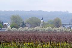 Pennsylvania. (Gillian Floyd Photography) Tags: pennsylvania countyside grapes