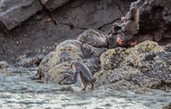 Galápagos penguin-2650 (kasiahalka) Tags: aidamaria beach bird birds boat ecuador galapagos galapagosislands genovesaisland islagenovesa islands southamerica swallowtailedgull water yacht snorkeling outdoor travel catamaran blue heron pacificocean ocean animal animals