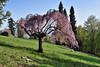 La Burcina in primavera (STE) Tags: burcina primavera spring ciliegio ciliegi fiori rosa pink flowers fioritura albero tree