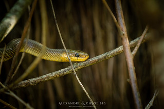 Grass Snake - Couleuvre