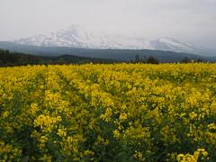 bigin to bloom (murozo) Tags: rape blossom green yellow mountain mtchokai yurihonjo akita japan 菜の花 花 鳥海山 山 黄 緑 雪 snow 由利本荘 秋田 日本