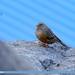 Alpine Accentor (Prunella collaris)