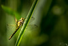 Dans la pénombre (autainvillois) Tags: libellule sympetum macro proxy marais roseau iris
