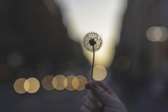 Dandelion (_Emerald_Photography_) Tags: dandelion sunset glasgow city scotland lights