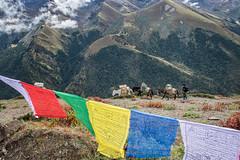 Horses and prayer flags at Gombu La pass - Thimphu District - Snowman Trek - Bhutan (PascalBo) Tags: nikon d500 asie asia southasia asiedusud drukyul drukgyalkhap bhutan bhoutan འབྲུག་ཡུལ། འབྲུག་རྒྱལ་ཁབ་ snowman trek trekking hike hiking lunana thimphu himalaya himalayas jigmedorjinationalpark buddhism bouddhisme religion horse mule outdoor outdoors pascalboegli montagne mountain